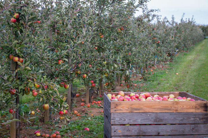 Apfelernte Bodensee
