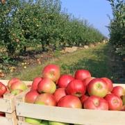 Apfelernte: Volle Kiste